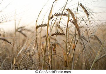 ears of wheat close up on a field at sunrise