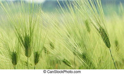 Ears of wheat. Close-up