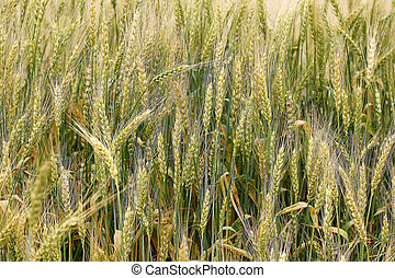 Ears of wheat closeup.