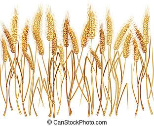 Ears of wheat - Ripe yellow wheat ears on field,...