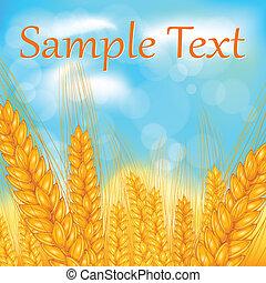 Ears of wheat field