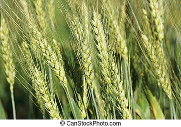 Ears of wheat growing in the field.