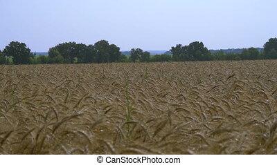 Ears of wheat in field