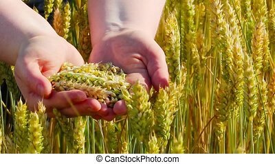 ears of wheat in the hands