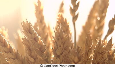 Ears of Wheat in the Sunlight
