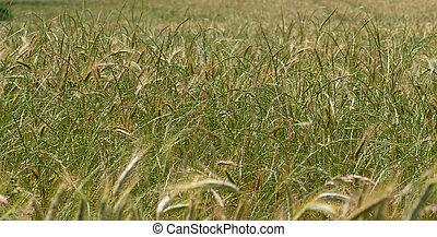 Ears of wheat in the wind