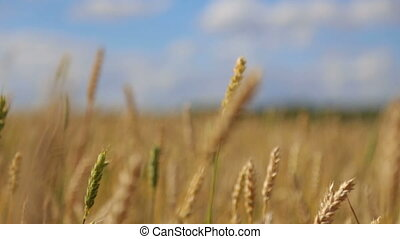 ears of wheat in the wind