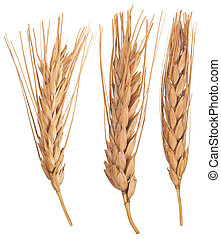 Ears of wheat. Macro