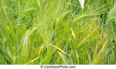 ears of wheat. Nature composition.