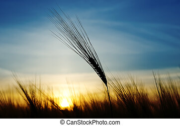 ears of wheat on a background a sun in the evening