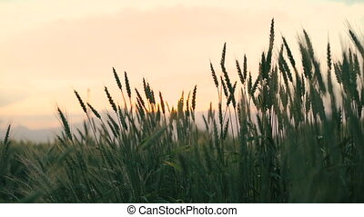 Ears of wheat on cloudy sky background
