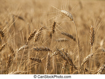 Ears of wheat on the field Matures.
