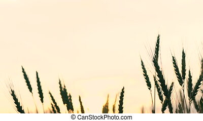 Ears of wheat on white sky background. Slow motion