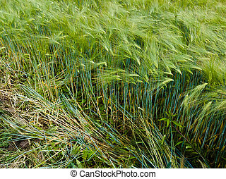 Ears of wheat or barley in a field with crops, agricultural organic food growing in the countryside
