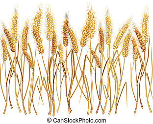 Ears of wheat - Ripe yellow wheat ears on field,...