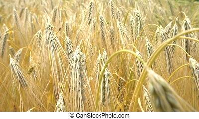 Ears of wheat. Slow motion