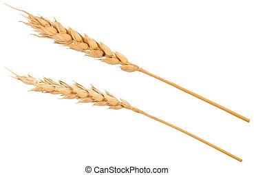 Ears of wheat