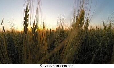 Ears of wheat. sunset