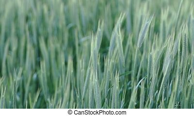 ears of wheat sway in the wind, agrarian landscape