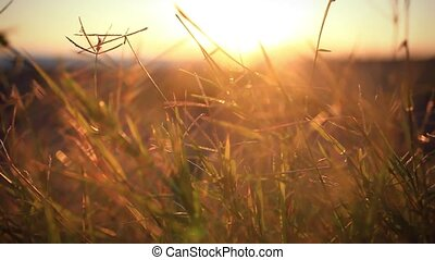 Ears of wheat waving in the wind against the background of The setting sunset. Blurred bokeh background with sunlight