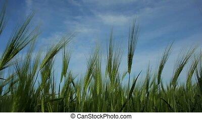 Ears Of Wheat Waving In The Wind