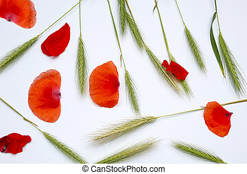 ears of young rye and poppy petals on a white background
