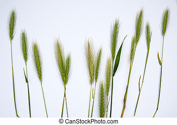 ears of young rye on white background