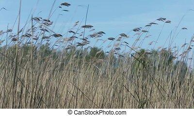 Ears on long stems Bulrush swing from wind, Blue sky, dense...