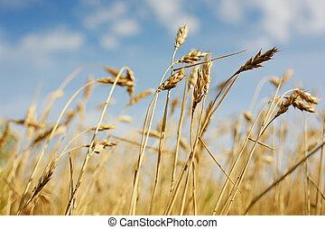 Ears ripe wheat against cloudy sky