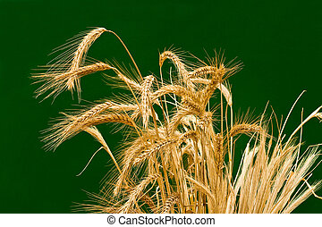 ears wheats - ears dry wheats on a green background