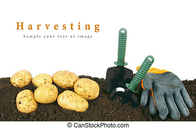earth., harvesting., outils jardinage, pomme terre