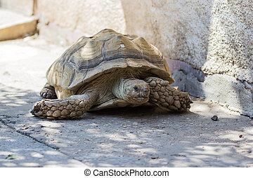 Earthen turtle crawling in the early morning on the track