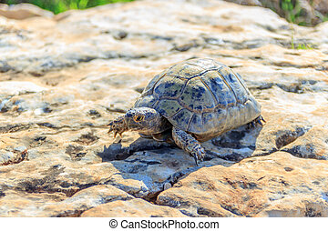 earthen turtle crawling in the early morning on a stone...