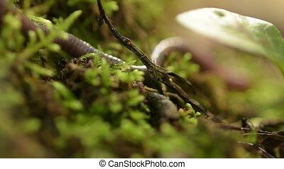 Earthworm in green moss. Autumn forest. wilderness scene....
