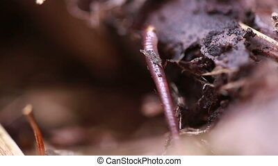 Earthworm in soil - closeup shot. worm on the ground
