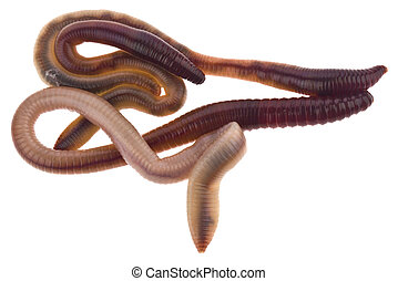 Earthworms isolated on white background close-up.