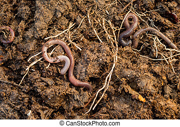 Earthworms Roaming Around Pile of Compost - Earthworms...