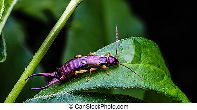 Earwig bug on a leaf in backyard garden