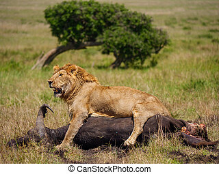 East african lion protecting his cape buffalo prey - African...