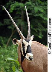 East African Oryx stand just over a metre at the shoulder and weigh around 175 kilograms.