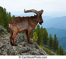 East Caucasian tur in wildness area - East Caucasian tur...