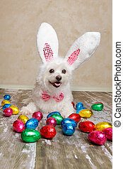 Easter bunny dog with chocolate easter eggs - An easter...