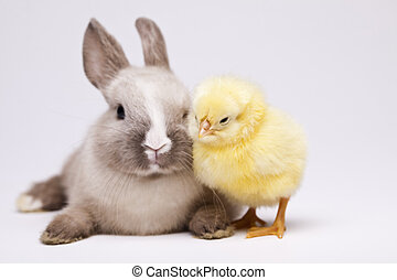 Easter bunny on chick white backgr - Animal easter