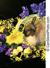 Easter Bunny - Adorable fuzzy lop rabbit sitting in Easter...