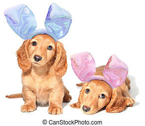 Easter bunny puppies - Easter bunny dachshunds puppies.