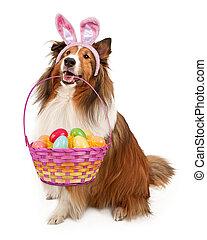 Easter Bunny Shetland Sheepdog - Shetland Sheepdog wearing...