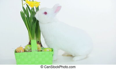 Easter bunny sniffing basket of eggs and daffodils on white...