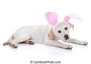 Easter Bunny - Easter bunny Labrador puppy dog in bunny ears...