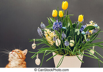 Easter cat smelling spring flowers in pot with eggs. Pet enjoys blooming yellow hyacinths, tulips, muscari. Space