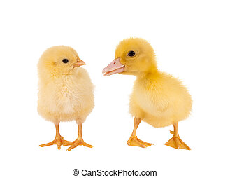 Funny newborn easter chick and duckling on a white background